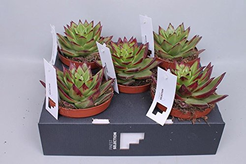 Echeveria agavoides 'Lipstick' Succulent Plant in a 12cm Pot x 1. Rarely Seen Perfect Plants