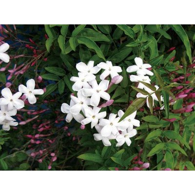 緑のカーテン ハゴロモジャスミン 羽衣素馨(大株) 白花 香りよし 常緑つる性木本 B00SR4AW8G
