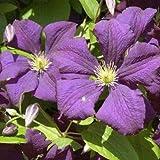 Clematis viticella Etoile Violette 60 -100 cm 2 L Co.