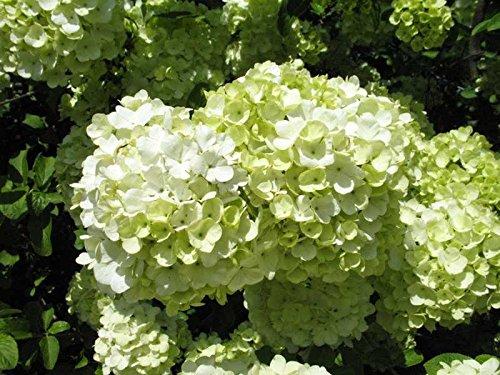 Common Snowball Bush White Flowering 1 Plant in 1 Gallon Pot Live Shrub Bush #GS04 by Gseeds (Image #1)