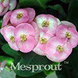 Euphorbia Milii Hybrid Middle 100 seeds Big Flowers Crown Of Thorns Seeds Graptopetalum Rusbyi 10 #32694628475ST
