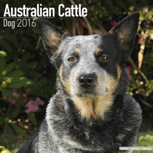 Australian Cattle Dog Calendar - Only Dog Breed Australian Cattle Dogs Calendar - 2016 Wall calendars - Dog Calendars - Monthly Wall Calendar by Avonside (Monthly Puppies Photographic Wall Calendar)
