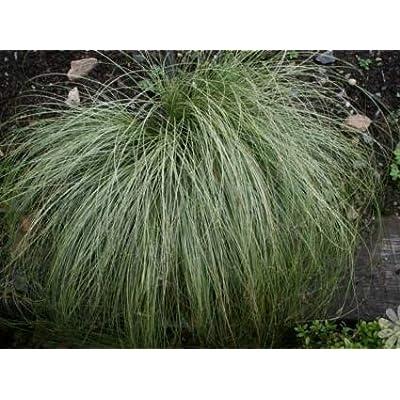 Cheap Fresh Ornamental Grass Seeds Carex Frosted Curls Grass Seeds New Zealand Hair Sedge Get 50 Seeds Easy Grow #MRB01YN : Garden & Outdoor