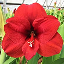 Amaryllis Bulb Red Amaryllis Ferrari Red - 26/28cm Bulb - Outstanding Indoor Blooms - FAST Blooming!