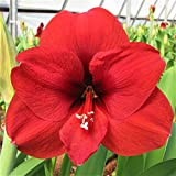 Amaryllis Bulb Ferrari Red - 26/28cm Bulb - Outstanding Indoor Blooms |Ships from Easy to Grow TM