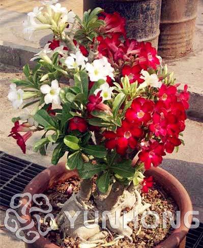 (Best Quality - Bonsai - Desert Rose Bonsai,Potted Flowers Bonsai,Adenium Obesum Color Optional 100% True in-Kind Shooting,1 pcs/Bag 99% Mix Colors - by SeedWorld - 1 PCs )