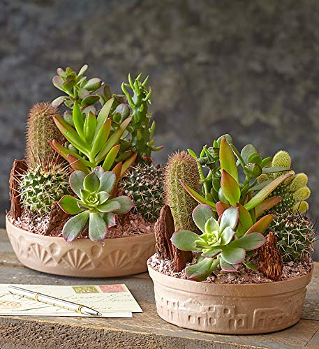 1800Flowers Cactus Dish Garden with Cacti and Succulents (Large) by 1-800-Flowers.com (Image #1)