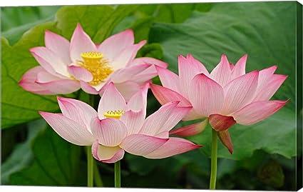 Amazoncom Lotus Flower Nelumbo Nucifera China By Adam Jones