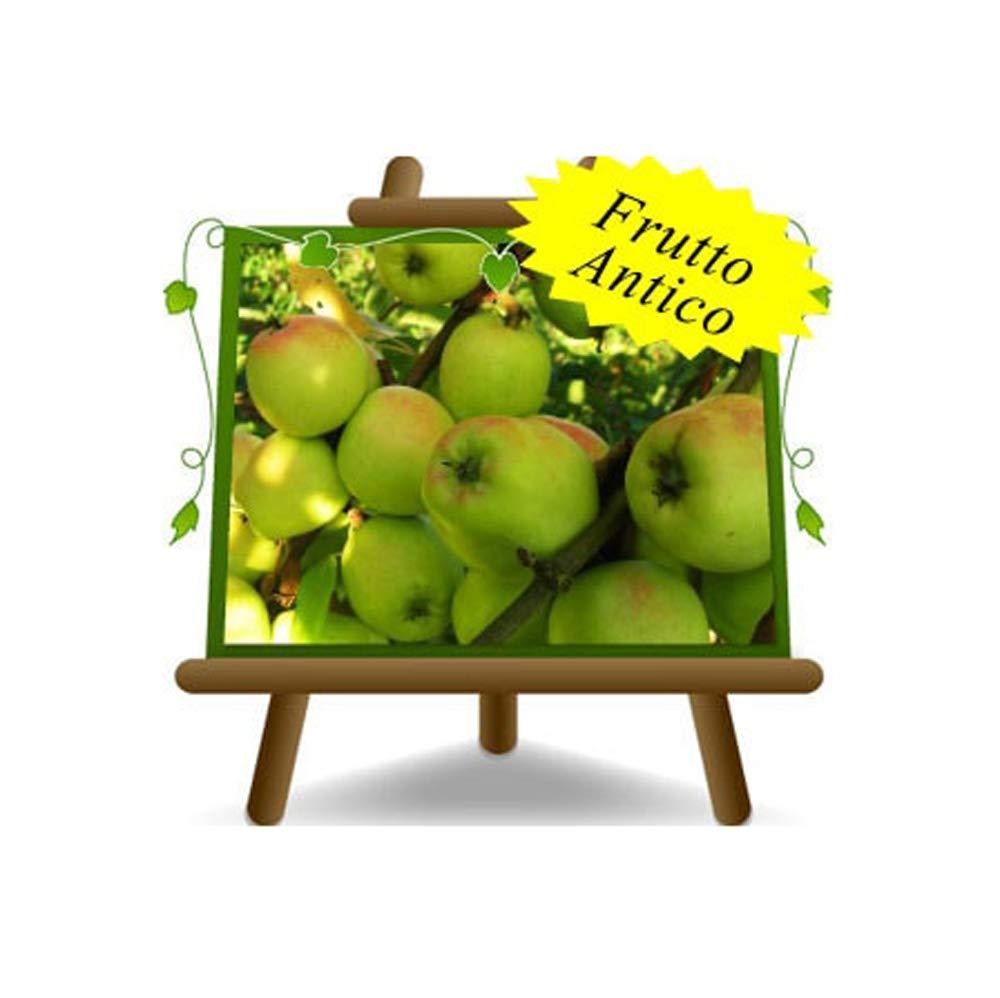 Meli Limoncella – Pianta da frutto antico Portainnesto M9 su vaso 26 - albero max 170 cm - 2 anni EuroPlants Vivai