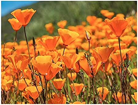 Amazon Com Marde Ross Company California Poppy Seeds State