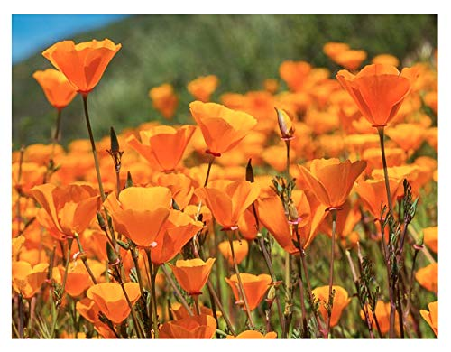 Marde Ross & Company California Poppy Seeds - State Flower, Golden Orange Poppy Re-Seeds - 5 Oz.