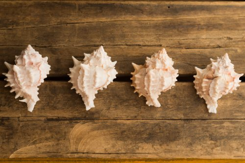 Hinterland Trading Pink Mouthed Murex Shell