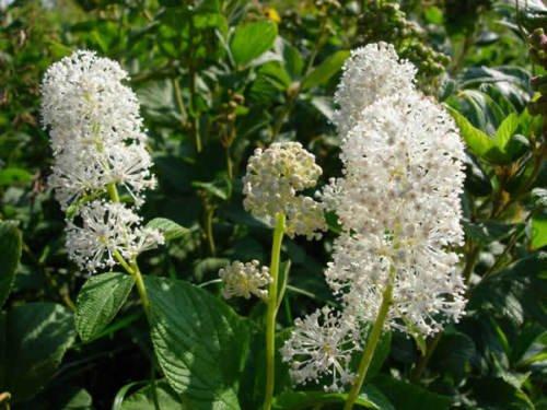 30+ CEANOTHUS NEW JERSEY TEA FLOWER SEEDS / PERENNIAL SHRUB 3' TALL/DROUGHT - New Shrub Jersey Tea