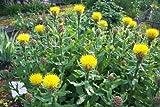Yellow Cornflower Seed,(Centaurea Macrocephala) seeds (1000)