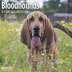 2020 Bloodhounds Wall Calendar by Bright Day, 16 Month 12 x 12 Inch, Cute Dogs Puppy Animals Hunting 28
