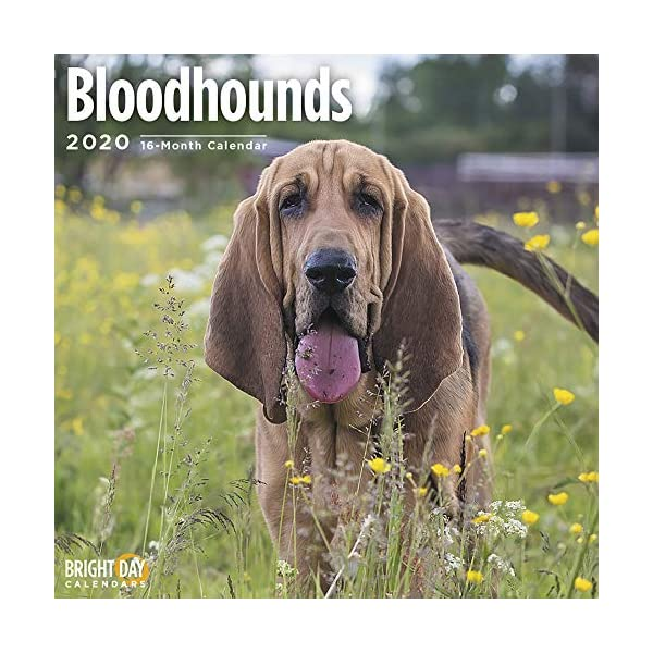 2020 Bloodhounds Wall Calendar by Bright Day, 16 Month 12 x 12 Inch, Cute Dogs Puppy Animals Hunting 1
