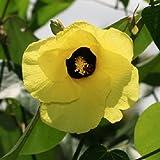 Hibiscus tiliaceus, Seideneibisch, gelbe tolle Farbe, 10 frische Samen