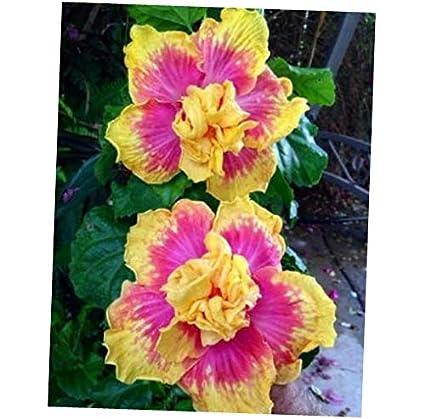 Amazoncom Seeds 10 Double Pink Yellow Hibiscus Seeds Hardy Flower