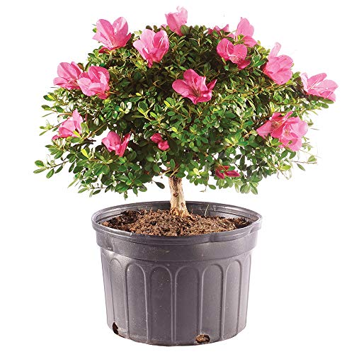 Brussel's Bonsai Live Azalea Outdoor Bonsai Tree - 8 Years Old 12'' to 14'' Tall with Plastic Grower Pot Large by Brussel's Bonsai (Image #2)