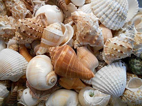 2 lbs Large Indian Ocean Shell Mix Seashells Beach Cottage Decor Nautical ()