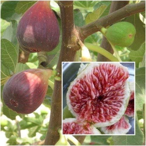 La figura 20 Semillas, Ficus carica, semillas, frutas de la higuera de Semillas, Plantas de jardín RARO: Amazon.es: Jardín