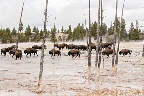Paint Pot Yellowstone National Park - Yellowstone National Park Photo | Bison at Fountain Paint pots 2000970 | Photographer: Jim Peaco | Giclee Photographic Art Print