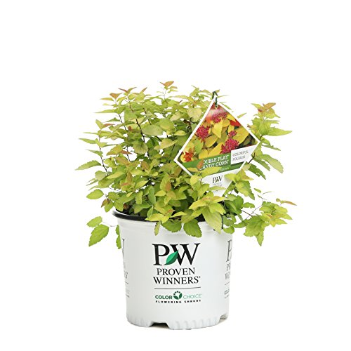 Double Play Candy Corn Spirea (Spiraea), Live Shrub, Purple Flowers and Red and Yellow Foliage, 1 Gallon (Spirea Shrubs)