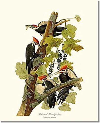 Bird Print - Pileated Woodpecker (James Audubon) Vintage Art Print (Sale For Framed Bird Prints)