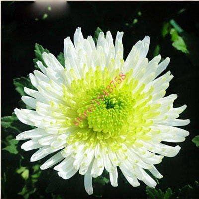AGROBITS 200 PCS semillas crisantemos, flores, plantas perennes crisantemo hermosas maceta para mini jardín, 22 colores disponibles: 12: Amazon.es: Jardín