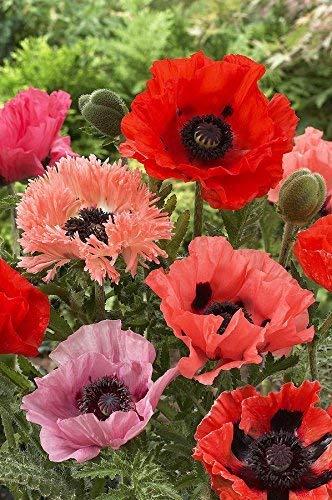 (Perennial: POPPY 'ALLEGRO' 50+ Seeds - Deep Scarlet Blooms, Black Center, High Germination, Fresh Seed ...)