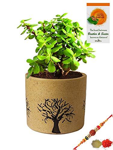 Rolling Nature Rakhi Combo of Good Luck Jade Plant in Brown Barrel Aroez Ceramic Pot (B07W9HP8J5) Amazon Price History, Amazon Price Tracker