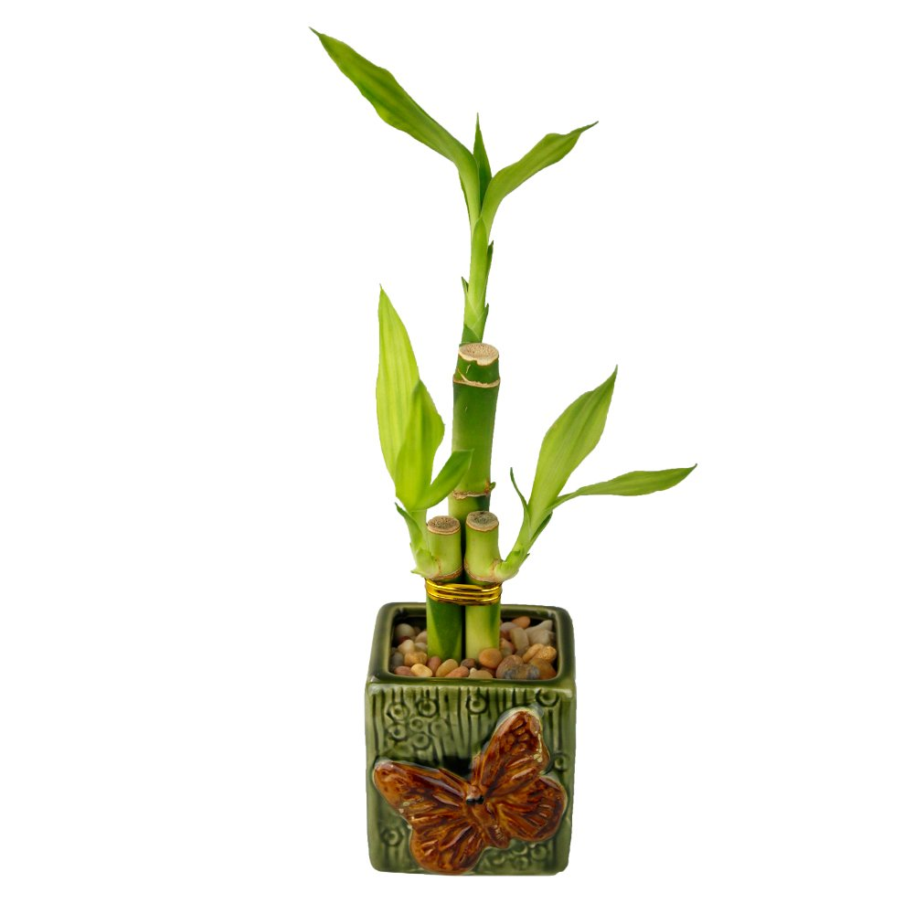 NW Wholesaler - Lucky Bamboo Three Stalk Arrangement with Green Ceramic Butterfly Pot