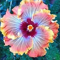 ¡¡¡En venta!!! semillas 200pcs Hibiscus 16kinds semillas de árboles Hibiscus rosa sinensis de flor de hibisco semillas…