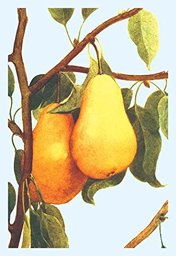Buyenlarge Bartlett Pears - 16