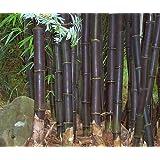 Bambusa lako - bambú negro de Timor - 15 semillas