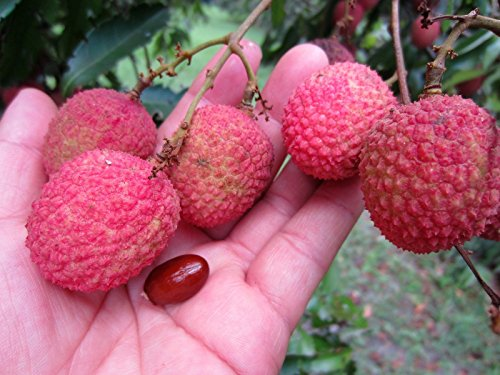3 FLORIDA Lychee PLANTS in 1 Pot Tropical Fruit Tree Seedling Litchi (Lychee Plant)