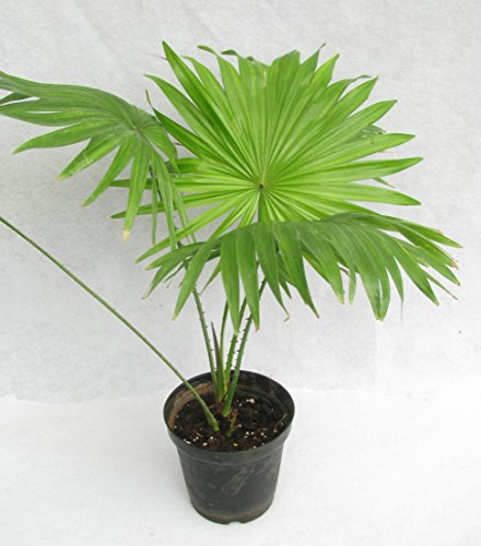 MG Naturals Table Palm-Umbrella Live Plant with Pot