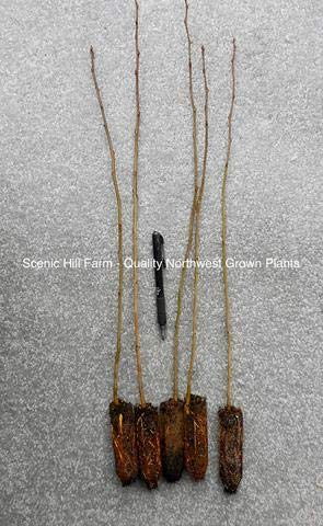- 20 seedlngs Quaking Aspen Trees (Populus tremuloides) Live Potted Seedlings - 16-20 Inches Tall by Raflesa