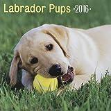 Amanecida 30,48 cm x 30,48 cm 2016 12-mes de pared Calenda R, cachorros Labrador (74322)