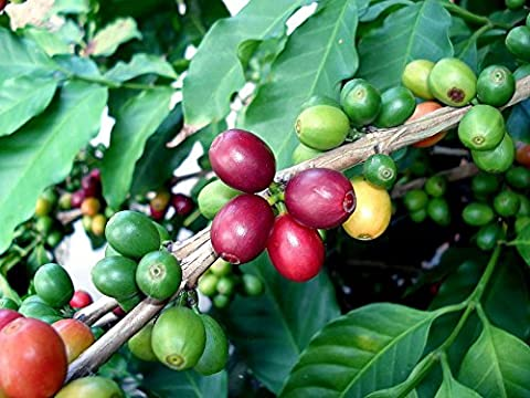 Kona Coffee Bean 10 Tree Seeds -Coffea-Gourmet-Tropical