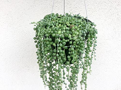 String of Pearls