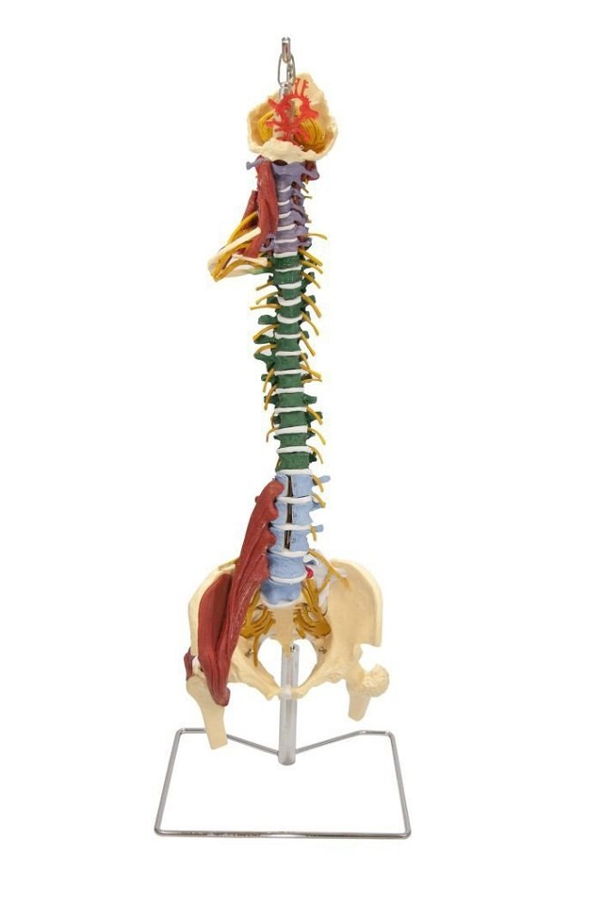 Muscle Spine W/Disorders + Stand CH5900 GD
