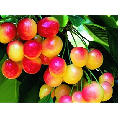 30 Rainier Cherry Seeds - My Secret Gardens : Garden & Outdoor