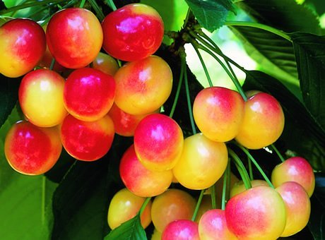 Rainier Cherry Tree Seeds - 20 Cherry Seeds - Qualityseeds4less Exclusive (Best Fruit Trees To Plant In Michigan)