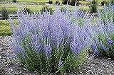 perovskia atriplicifolia, Russian sage 50 Seeds