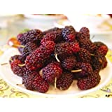 15 MULBERRY Tree Bush Fruit Morus Rubra Seeds *Comb S/H