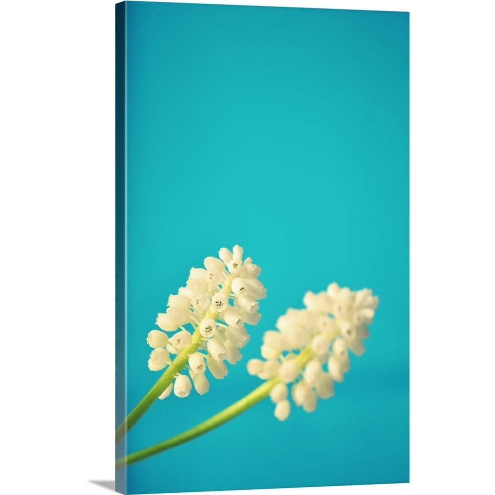 Gallery-Wrapped Canvas Entitled Close up Two White muscari Flowers on Bright Light Blue Background Great Big Canvas 16''x24''