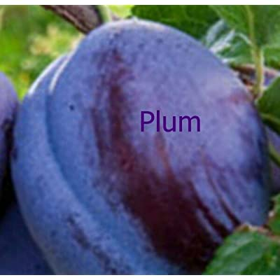 AchmadAnam - Live Plant - Plum Blue Damson Orchard Fruit Tree Standard Choice 2-3 ft : Garden & Outdoor