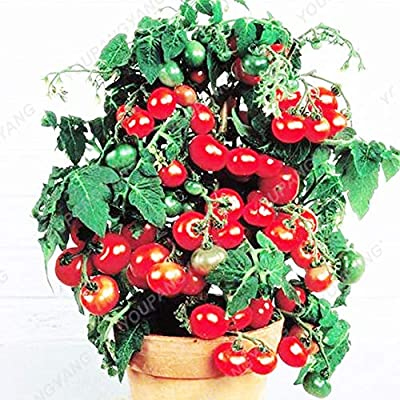 Shopmeeko 200pcs/bag Rainbow Tomato Bonsai Rare Tomato Bonsai Bonsai Organic Vegetable & Fruit Bonsai Potted Plant for Home & Garden: Yellow: Home & Kitchen