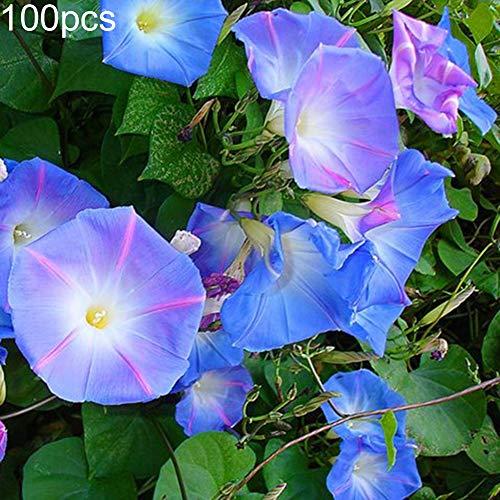 Decorative Flowers Plants for Home Garden 100Pcs Petunia Seeds Morning Glory Ornamental Climbing Flower Plant Garden Decor - Petunia Seeds (Best Way To Take Morning Glory Seeds)